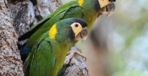 Primolius auricollis macaw