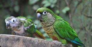 Papagal Pyrrhura molinae