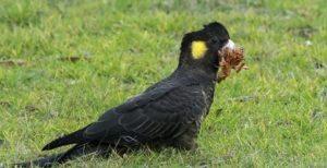 cacadu negru cu coada galbena