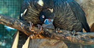 cacadu negru cu coada alba