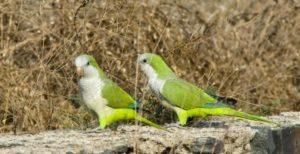 papagal calugar argentina