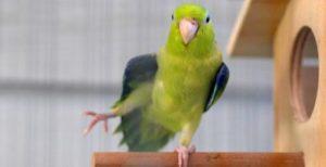 papagal de pacific