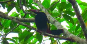 Tawny-tufted toucanet