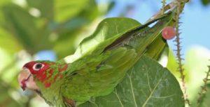 papagal aratinga cu mitra