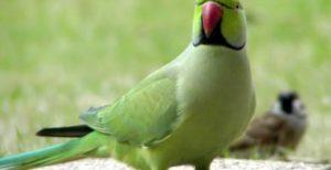 papagal calugar