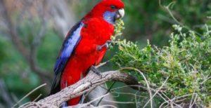 papagal rosella